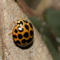 Harmonia conformis (Common Spotted Ladybird) at Hawker, ACT - 16 Oct 2021 by AlisonMilton
