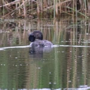 Biziura lobata (Musk Duck) at Splitters Creek, NSW by KylieWaldon