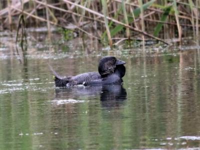 Biziura lobata (Musk Duck) at Splitters Creek, NSW - 15 Oct 2021 by KylieWaldon
