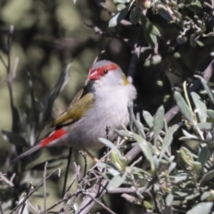 Neochmia temporalis (Red-browed Finch) at Hawker, ACT - 16 Oct 2021 by AlisonMilton