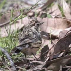 Pyrrholaemus sagittatus (Speckled Warbler) at Hawker, ACT - 17 Oct 2021 by AlisonMilton