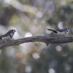 Taeniopygia bichenovii (Double-barred Finch) at Hawker, ACT - 17 Oct 2021 by AlisonMilton