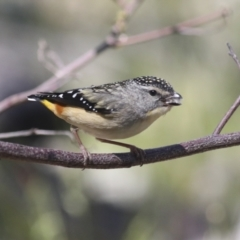 Pardalotus punctatus (Spotted Pardalote) at Hawker, ACT - 17 Oct 2021 by AlisonMilton