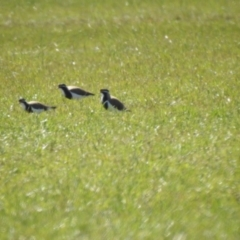 Vanellus tricolor (Banded Lapwing) at Wollogorang, NSW - 16 Oct 2021 by Liam.m