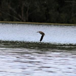 Malacorhynchus membranaceus (Pink-eared Duck) at Splitters Creek, NSW by KylieWaldon