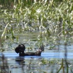 Biziura lobata (Musk Duck) at Wollogorang, NSW - 17 Oct 2021 by Liam.m