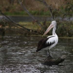 Pelecanus conspicillatus (Australian Pelican) at Splitters Creek, NSW by KylieWaldon