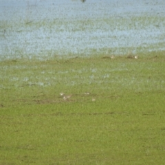Charadrius ruficapillus (Red-capped Plover) at Lake George, NSW - 17 Oct 2021 by Liam.m