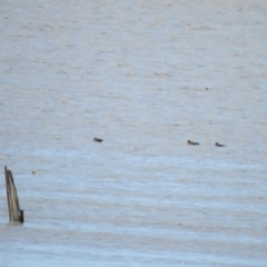 Anas castanea (Chestnut Teal) at Lake George, NSW - 17 Oct 2021 by Liam.m
