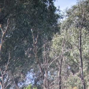 Eurystomus orientalis (Dollarbird) at Splitters Creek, NSW by Darcy