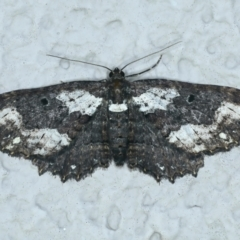 Eccymatoge fulvida (TBC) at Ainslie, ACT - 16 Oct 2021 by jbromilow50
