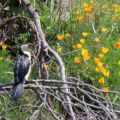 Microcarbo melanoleucos (Little Pied Cormorant) at Greenway, ACT - 18 Oct 2021 by RodDeb