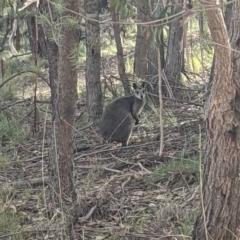 Wallabia bicolor (Swamp Wallaby) at Currawang, NSW - 18 Oct 2021 by camcols