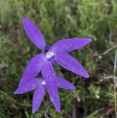 Glossodia major (Wax Lip Orchid) at Hackett, ACT - 18 Oct 2021 by rosiecooney
