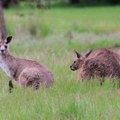 Macropus giganteus (TBC) at Splitters Creek, NSW - 15 Oct 2021 by KylieWaldon