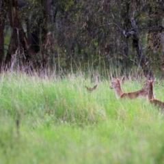 Dama dama (TBC) at Splitters Creek, NSW - 15 Oct 2021 by KylieWaldon