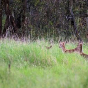 Dama dama (TBC) at Splitters Creek, NSW by KylieWaldon