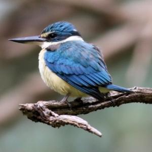 Todiramphus sanctus (Sacred Kingfisher) at Splitters Creek, NSW by KylieWaldon