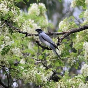 Coracina novaehollandiae (Black-faced Cuckooshrike) at Splitters Creek, NSW by KylieWaldon