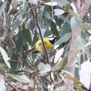 Falcunculus frontatus (Crested Shrike-tit) at Splitters Creek, NSW by KylieWaldon