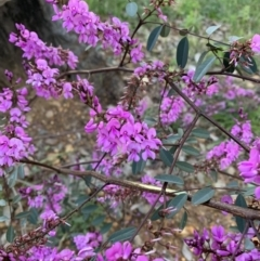 Indigofera australis subsp. australis (Australian Indigo) at Acton, ACT - 4 Oct 2021 by DGilbert