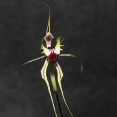 Caladenia atrovespa (Green-comb Spider Orchid) at Bruce, ACT - 19 Oct 2021 by AlisonMilton