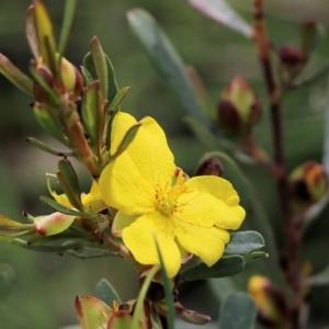 Hibbertia obtusifolia (TBC) at Albury, NSW by KylieWaldon