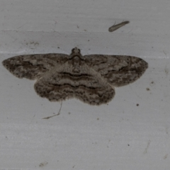 Ectropis excursaria (Common Bark Moth) at Higgins, ACT - 14 Oct 2021 by AlisonMilton