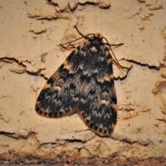 Halone sinuata (Rock Lichen Moth) at Wanniassa, ACT - 19 Oct 2021 by JohnBundock