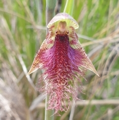 Calochilus platychilus (Purple beard orchid) at Cook, ACT - 18 Oct 2021 by drakes