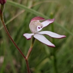 Caladenia moschata (Musky caps) at Currawang, NSW - 19 Oct 2021 by camcols
