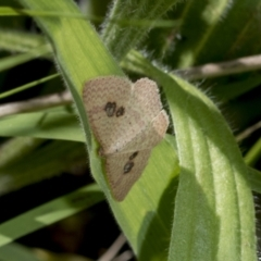Epicyme rubropunctaria (Red-spotted Delicate) at Hawker, ACT - 17 Oct 2021 by AlisonMilton