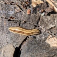 Lenkunya munda (A flatworm) at Cotter River, ACT - 6 Oct 2021 by SWishart