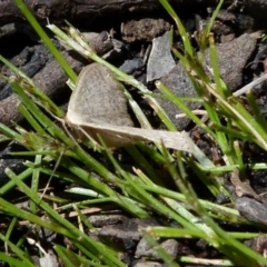 Amelora sp. (TBC) at Boro, NSW - 17 Oct 2021 by Paul4K