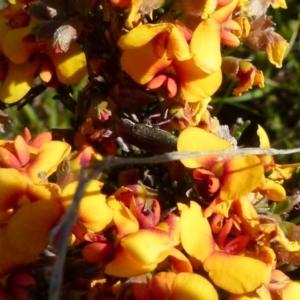 Melobasis propinqua (Propinqua jewel beetle) at suppressed by Paul4K