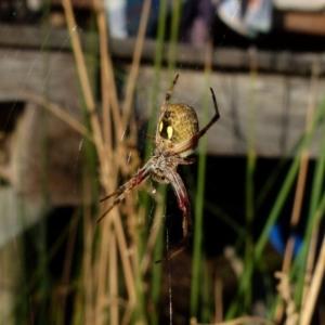 Araneus hamiltoni (Hamilton's Orb Weaver) at suppressed by Paul4K