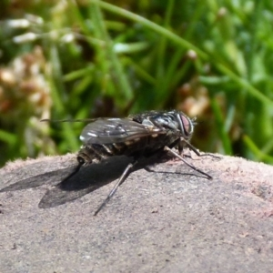Unidentified March or Horse fly (Tabanidae) (TBC) at suppressed by Paul4K