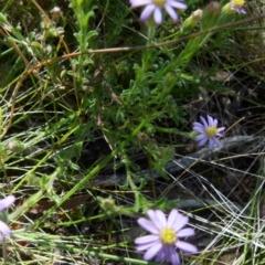 Vittadinia cuneata var. cuneata (Fuzzy New Holland Daisy) at Boro, NSW - 18 Oct 2021 by Paul4K