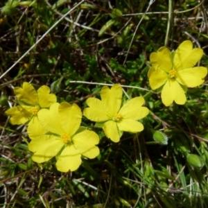 Hibbertia pedunculata (TBC) at suppressed by Paul4K