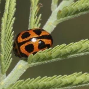 Peltoschema oceanica (Oceanica leaf beetle) at Hawker, ACT by AlisonMilton