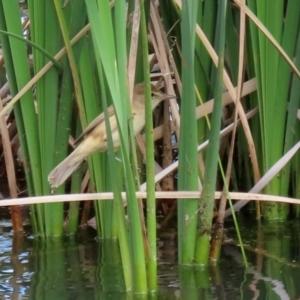 Acrocephalus australis (Australian Reed-Warbler) at Gordon, ACT by RodDeb