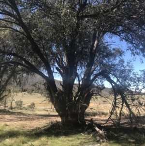 Eucalyptus stellulata (Black Sally) at Mount Clear, ACT by Tapirlord