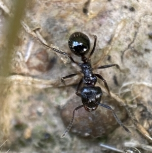 Unidentified Ant (Hymenoptera, Formicidae) (TBC) at suppressed by Steve_Bok