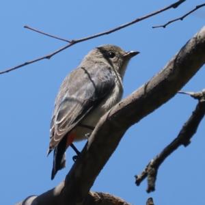 Dicaeum hirundinaceum (Mistletoebird) at Pialligo, ACT by jbromilow50