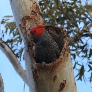Callocephalon fimbriatum (Gang-gang Cockatoo) at suppressed by HelenCross