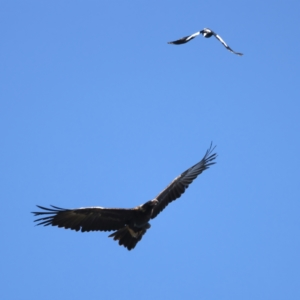 Aquila audax (Wedge-tailed Eagle) at suppressed by jbromilow50