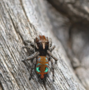 Maratus calcitrans (TBC) at suppressed by TimotheeBonnet