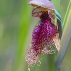 Calochilus platychilus (Purple beard orchid) at Acton, ACT - 16 Oct 2021 by TimotheeBonnet