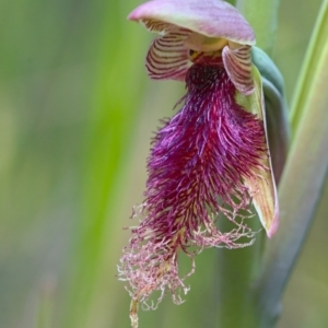 Calochilus platychilus (TBC) at suppressed by TimotheeBonnet