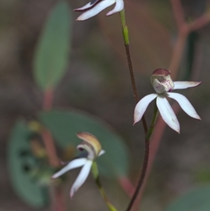 Caladenia moschata (TBC) at suppressed by TimotheeBonnet